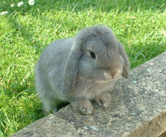 صور ارانب ارنب rabbit.jpg